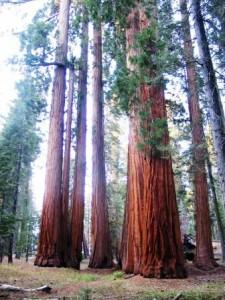image of giant sequoia courtesy of National Park Service - delightability blog