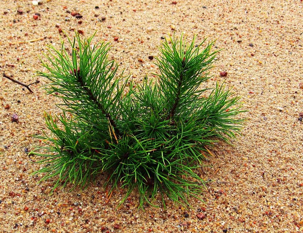 planting a pine tree
